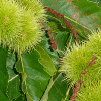 Chestnut plant