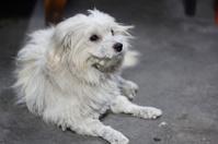 Cute small dog breed Shih Tzu.