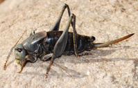 Mormon Cricket Female