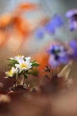 Wood anemone, windflower, thimbleweed