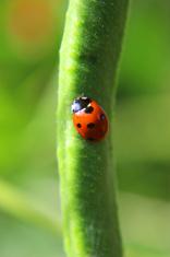 Image of seven-spot ladybird (Coccinella septempunctata), red an