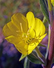 Common Evening Primrose Close-up