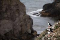 Puffins on Icelandic Cliff
