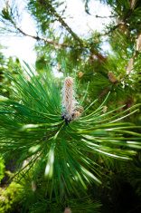 Nature. Branch or twig with needles of pine tree