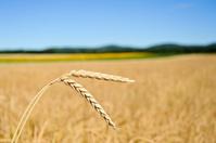 Ears of corn in the cornfield