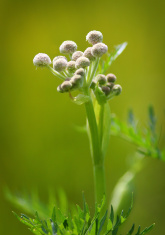 Ranger Buttons Flower (sphenosciadium capitellum)