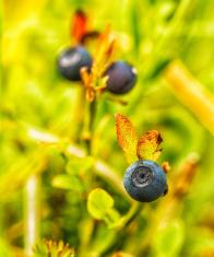 Fresh blueberries in wild