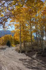 Dirt Road Through Aspen Trees