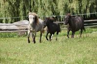 American miniature horses running
