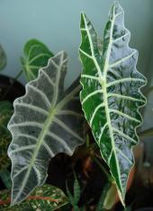 green heart plant