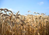 cornfield in the summer