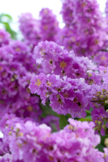 Violet color of Queen's crape myrtle flower.