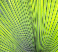 Green Palm Fan Leaf Abstract Background Macro