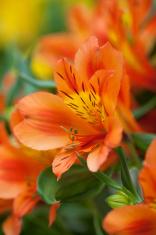 Flowers of Alstroemeria