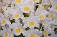 Flowers Dendorobyumu