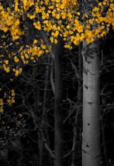 Aspen Trees Fall