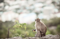 Monkey on hill,Thailand.
