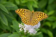 Butterfly (lat. Argynnis paphia)
