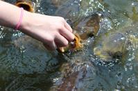 Girl hand-feeding friendly common carp / feeding koi bread in po