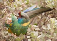 Port lincoln ringneck parrot