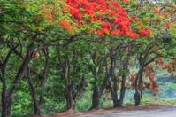 Flame Trees