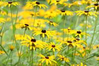 yellow echinaceas