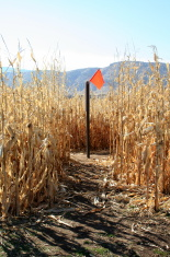 Orange Flag at beginning of Corn Maze