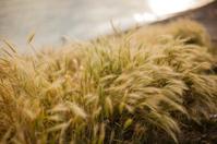 Reed plants