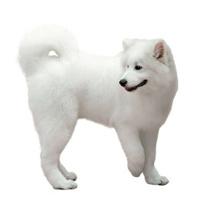 Samoyed dog  on white