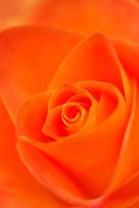 Orange swirl inside of a Rose.