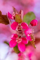 Crab Apple Trees in Spring Bloom
