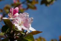 Pink Flowering Crabapple Background - Malus