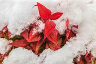 Snowy Spiraea