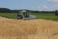 Rye grain field