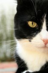 tuxedo cat closeup