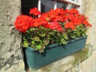 Plastic black window box with red geranium flowers (pelargoniums