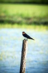 Swallows on a stump