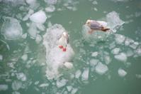 Seagulls on Ice