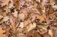 sere brown autumn leaves