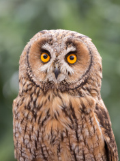 Large Owl close-up