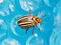 colorado potato beetle close up