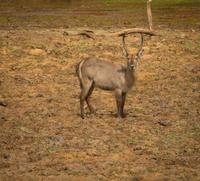 waterbuck in south luangwa