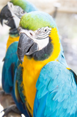 Two Macaw birds are standing on the branch