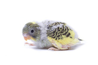 Budgie Chick