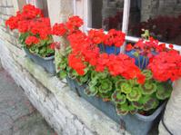 Plastic grey window box with red geranium flowers (pelargoniums)