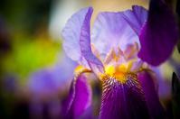 Purple Bearded Iris Flower