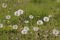The grass dandelion