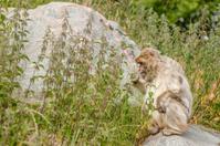 Berber monkey eating nettles on a rock