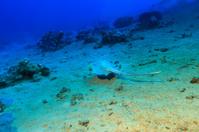 Sea life-Bluespotted stingray
