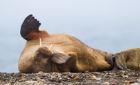 Walrus on Beach